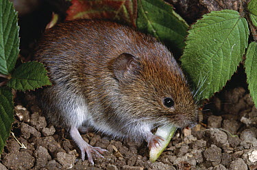 Bank Vole (Clethrionomys glareolus) eating plant stem  -  Stephen Dalton