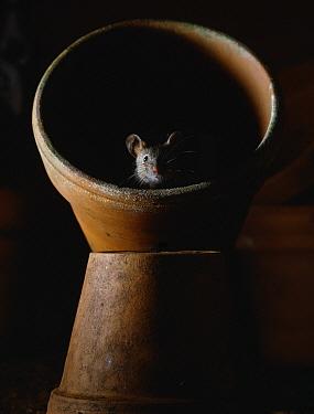 House Mouse (Mus musculus) in plant pot  -  Stephen Dalton