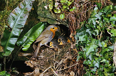 European Robin (Erithacus rubecula) at nest with chicks  -  Stephen Dalton