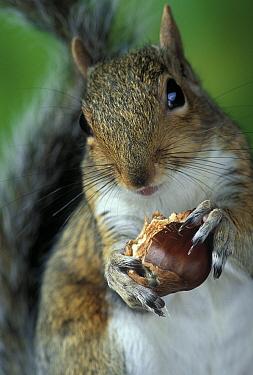 Eastern Gray Squirrel (Sciurus carolinensis) eating sweet chestnut  -  Stephen Dalton