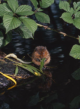 Water Vole (Arvicola terrestris) eating leaf at water's edge  -  Stephen Dalton