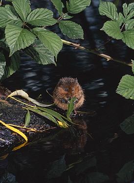 Water Vole (Arvicola terrestris) eating leaf at water's edge  -  Stephen Dalton