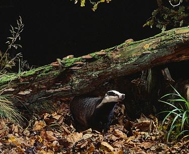 Eurasian Badger (Meles meles) in woodland  -  Stephen Dalton