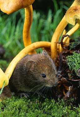Bank Vole (Clethrionomys glareolus) amongst yellow toadstools  -  Stephen Dalton