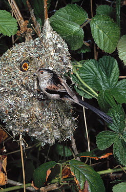 Long-tailed Tit (Aegithalos caudatus) feeding young in nest  -  Stephen Dalton