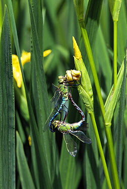 Emperor Dragonfly (Anax imperator) pair mating  -  Stephen Dalton