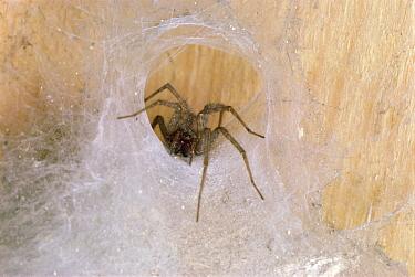 House Spider (Tegenaria atrica) in spider web  -  Stephen Dalton