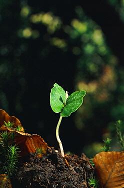 European Beech (Fagus sylvatica) sprout with cotyledon  -  Stephen Dalton
