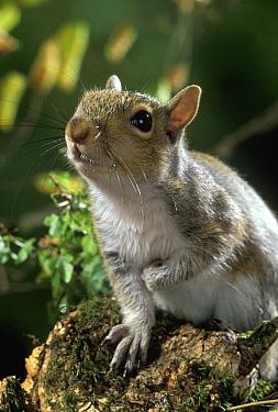Eastern Gray Squirrel (Sciurus carolinensis) in alert posture  -  Stephen Dalton