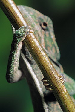 Jeweled Chameleon (Furcifer lateralis) feet  -  Stephen Dalton