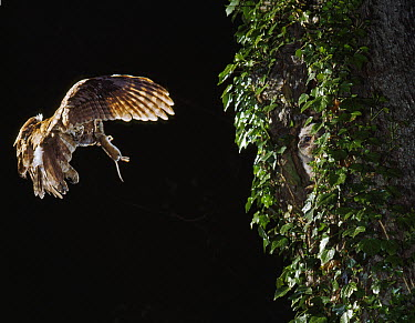 Tawny Owl (Strix aluco) carrying prey for chick in nest  -  Stephen Dalton