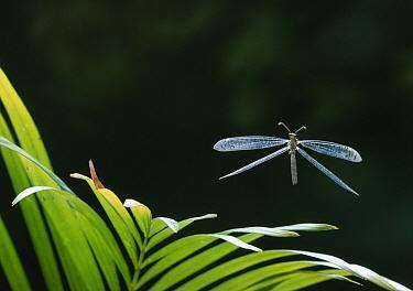 Antlion (Myrmeleontidae) flying, Venezuela  -  Stephen Dalton