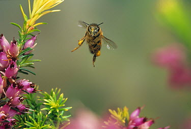Honey Bee (Apis mellifera) flying with laden pollen baskets  -  Stephen Dalton
