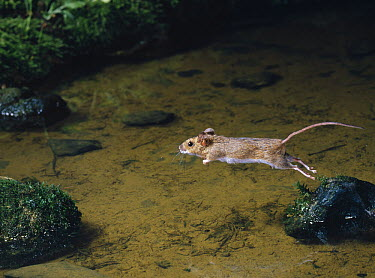 Wood Mouse (Apodemus sylvaticus) leaping between rocks in stream  -  Stephen Dalton