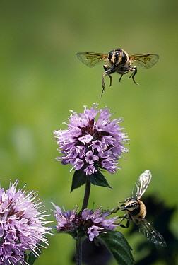 Drone Fly (Eristalis tenax) flying over Water Mint (Mentha aquatica)  -  Stephen Dalton
