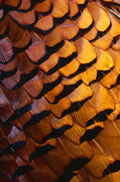 Ring-necked Pheasant (Phasianus colchicus) contour feathers  -  Stephen Dalton