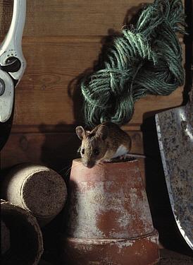 Yellow-necked Field Mouse (Apodemus flavicollis) on flower pot in garden shed  -  Stephen Dalton