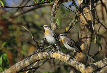 Tropical Mockingbird (Mimus gilvus) pair, Tobago, West Indies  -  Stephen Dalton