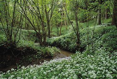 Wild Garlic (Allium ursinum) group flowering in forest  -  Stephen Dalton