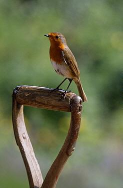 European Robin (Erithacus rubecula) on spade handle  -  Stephen Dalton