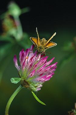 Small Skipper (Thymelicus flavus) feeding on flower nectar  -  Stephen Dalton
