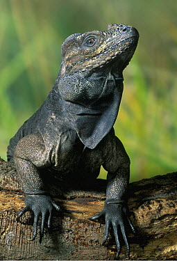 Rhinoceros Iguana (Cyclura cornuta), Caribbean  -  Stephen Dalton