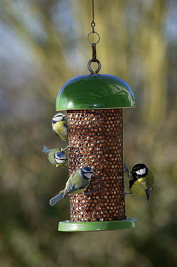 Blue Tit (Cyanistes caeruleus) trio and Great Tit (Parus major) at feeder  -  Stephen Dalton