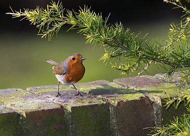 European Robin (Erithacus rubecula), Sussex, England  -  Stephen Dalton