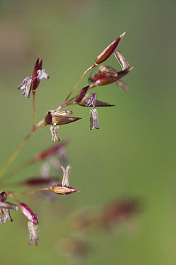 Colonial Bent Grass (Agrostis capillaris) seeds  -  Stephen Dalton