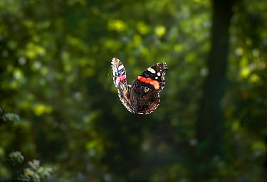 Red Admiral (Vanessa atalanta) butterfly flying, Sussex, England  -  Stephen Dalton