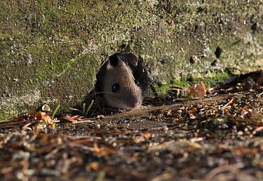 Wood Mouse (Apodemus sylvaticus) looking out from hole  -  Stephen Dalton