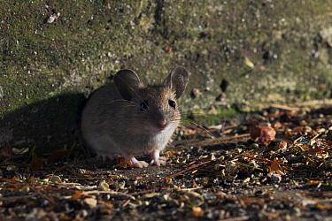 Wood Mouse (Apodemus sylvaticus)  -  Stephen Dalton