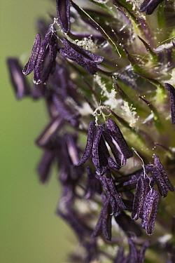 Timothy Grass (Phleum pratense) seed heads  -  Stephen Dalton