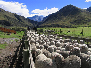 Domestic Sheep (Ovis aries) flock in pen, Otago, South Island, New Zealand  -  Stephen Dalton