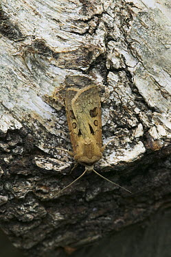 Heart And Dart Moth (Agrotis exclamationis)  -  Stephen Dalton