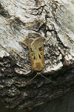 Heart And Dart Moth (Agrotis exclamationis)  -  Stephen Dalton