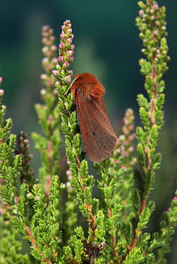 Ruby Tiger (Phragmatobia fuliginosa) moth  -  Stephen Dalton