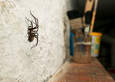 Lesser House Spider (Tegenaria domestica) on wall, Sussex, England  -  Stephen Dalton