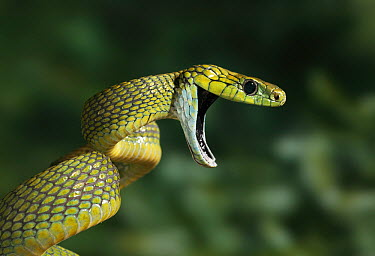 Red-tailed Green Ratsnake (Gonyosoma oxycephalum) in threat display  -  Stephen Dalton