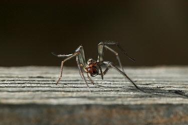 Lesser House Spider (Tegenaria domestica), England  -  Stephen Dalton