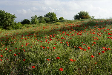 Meadow with poppies, Cyprus  -  Stephen Dalton