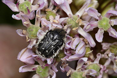Flower Beetle (Tropinota hirta) on flower, Cyprus  -  Stephen Dalton
