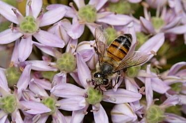 Honey Bee (Apis mellifera) feeding on flower nectar, Cyprus  -  Stephen Dalton