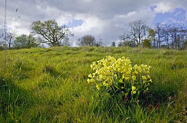 Oxlip (Primula elatior) flowering, Sussex, England  -  Stephen Dalton
