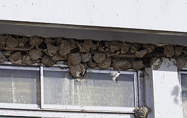 Common House Martin (Delichon urbicum) nesting colony, Cyprus  -  Stephen Dalton