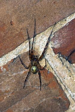 Cave Spider (Meta menardi)  -  Stephen Dalton