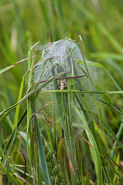 Nursery-web Spider (Pisaura mirabilis) web with young, England  -  Stephen Dalton