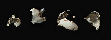 Greater Horseshoe Bat (Rhinolophus ferrumequinum) catching moth, multiple exposures  -  Stephen Dalton