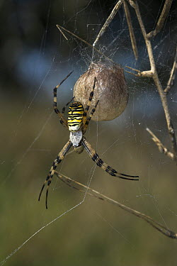 Wasp Spider (Argiope bruennichi) in web, Sussex, England  -  Stephen Dalton
