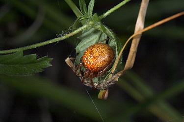 Orb-weaver Spider (Araneus alsine) resting in half made retreat, Sussex, England  -  Stephen Dalton